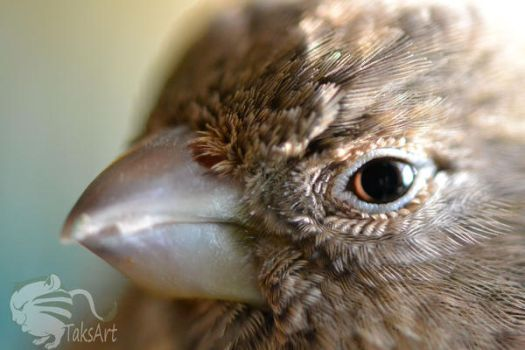 House Finch Closeup by TaksArtPhotos