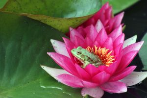Frog in a Lilly by Simiangrunt