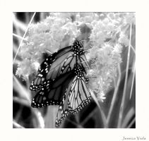 Butterflies by javv556