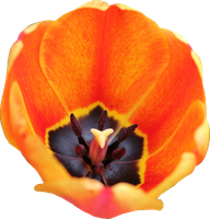 Tulip PNG 09 by Thy-Darkest-Hour