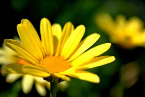 simple yellow flower by sstando