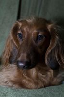 long hair dachshund by pringle753