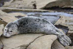 Harbor Seal Pup III by JAHphoto