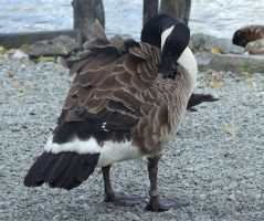 Canada Goose by insolitus-mundus