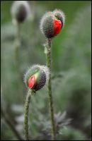 Poppy buds by Nickdan