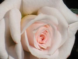 Perfectly Formed Rose by Jyl22075