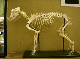 bulldog 01: skeleton by cyborgsuzystock