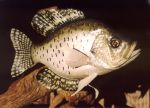 Black Crappie by Bagheera3