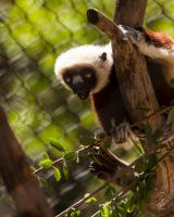 Coquerel's Sifaka - Chasing by Daveinwilton