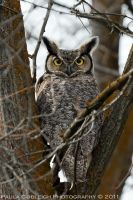 Great Horned Owl by La-Vita-a-Bella