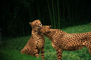 Kissing Cheetahs by TlCphotography730