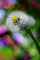 Dandelions for Candy by martintinaz