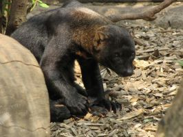 Tayra 01 by animalphotos