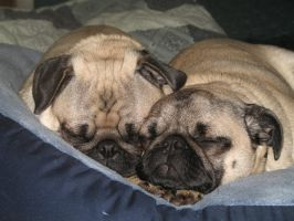 Sleepy Pugs by pepperbunbun