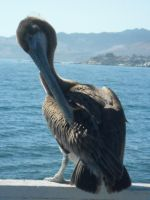 Captain:Pelican:Two by dollyderanged