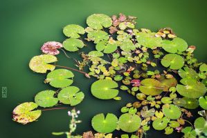 Water-lilies of Angkor by DrMcKenna