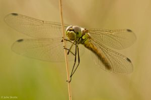 Dragonfly by JS2010