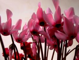 Pink Cyclamens by PanosPS