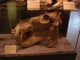Hippo skull by Flyg-stock
