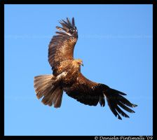 Whistling Kite: In Flight by TVD-Photography