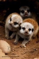 Meercat pups by Shadow-and-Flame-86