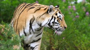 Amur Tiger by CamStatic