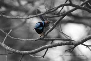 Bluebird Black and white by didyabringyagrog