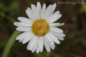Raindrops on Daisy by Hope-Brings-Peace