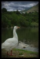 Goose fra ba by DefiancePhotography