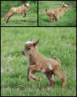 Frolicking Baby Goat by lostrat