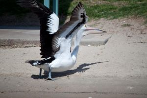Large Pelican Flying Stock 1 by CNStock