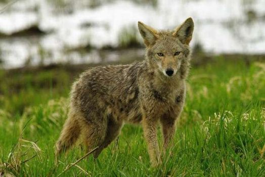 Coyote Lookin for Food by Colonelengle