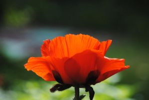 Poppy 3 by Tyyourshoes