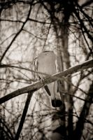 Dullahan Dove by OliverBPhotography