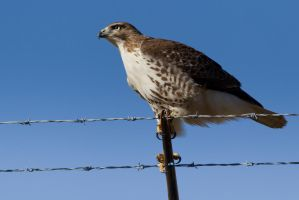 Hawk on Wire by bovey-photo