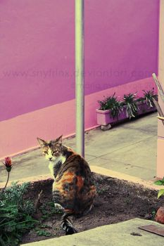 .cats of chile 1. by snyfrinx