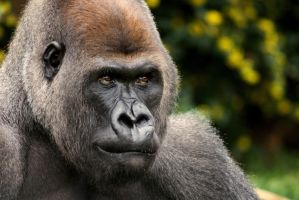 Western Lowland Gorilla 5 by Art-Photo