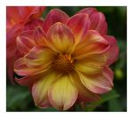 Friday Dahlia 003 by Deb-e-ann