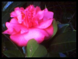 Camellia I by KnK-stock
