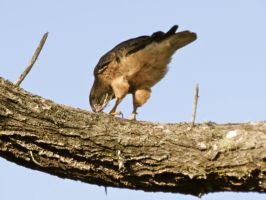 Red Tail Hawk 2 by Samela7