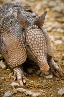 Armadillo by thephotographicgenus