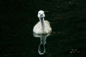 Young Swan Growing by EarthHart