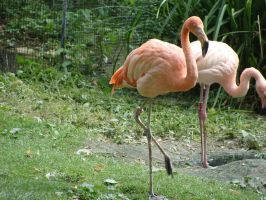 Pink flemish II by fairling-stock