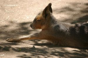 Patagonian cavy 31 by Silver-she-wolf-14