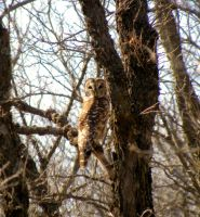 Barred Owl by SuicideBySafetyPin