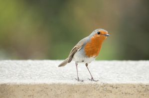 inquisitive robin by lewiscarrington
