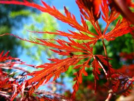 Red leaf by bueyedgirl