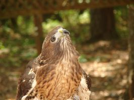 Red-Tailed Hawk by Zolk