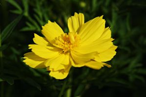 Yellow cosmos 3 by a6-k
