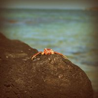 Red Crab by lostknightkg